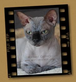 Cattery Merloni - Canadian Sphynx kittens for sale
