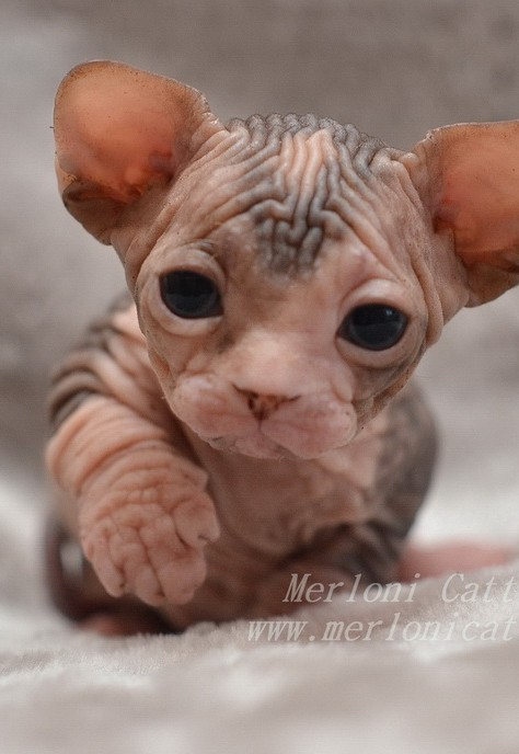 Cattery Merloni - Canadian Sphynx kittens for sale