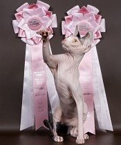 Cattery Merloni - Canadian Sphynx kittens for sale - Hairless cats